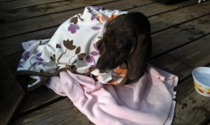 Daisy, wrapped in Lexi's old blanket.